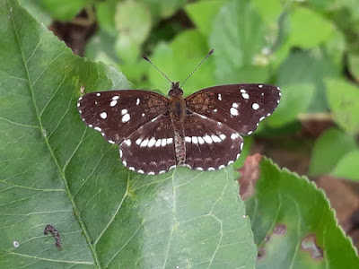Mariposa mbatará (Ortilia ithra)