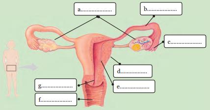 Kunci Jawaban Melengkapi Gambar Organ Organ Penyusun Sistem Reproduksi Perempuan Rofa Education Centre