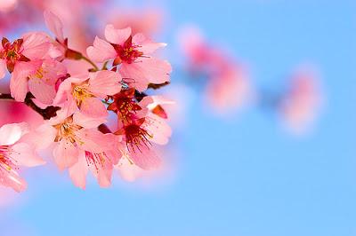 Cerejeira - ornamental