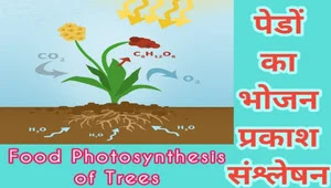 Food-Photosynthesis-of-Trees