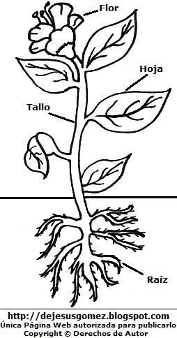 Imagen de la planta y sus partes para colorear pintar imprimir. Dibujo de planta de Jesus Gómez
