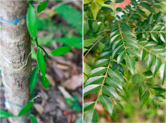 green leaves on a vanilla plant vine and fresh curry leaves on bush