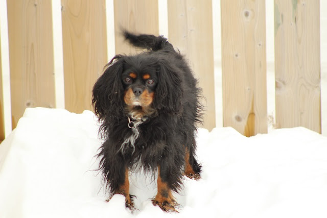 Cavalier King Charles Spaniel,  Jet, in the snow