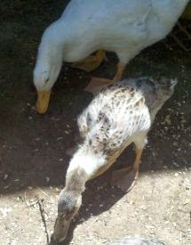 chickens for backyards, ducklings, raising ducks,