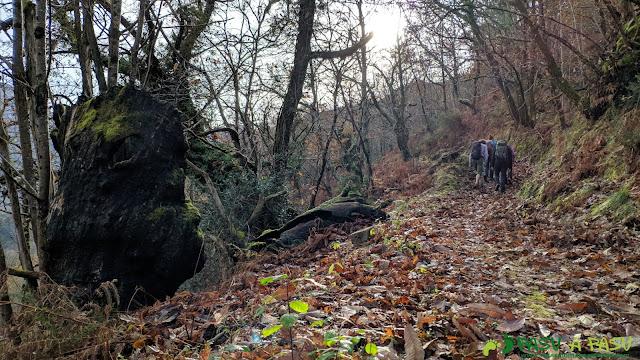 Bosque de castaños subiendo por el Camín Real de Amieva