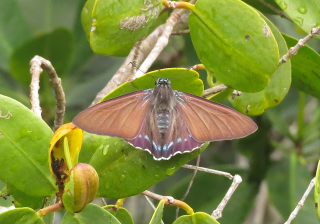 Mangrove Skipper - Long Key sp, Florida