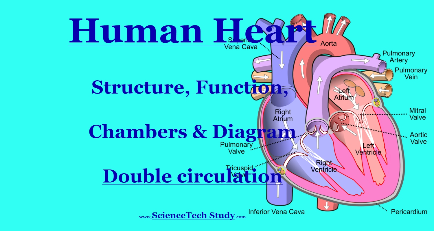 Human Heart Structure Function Chambers Amp Double