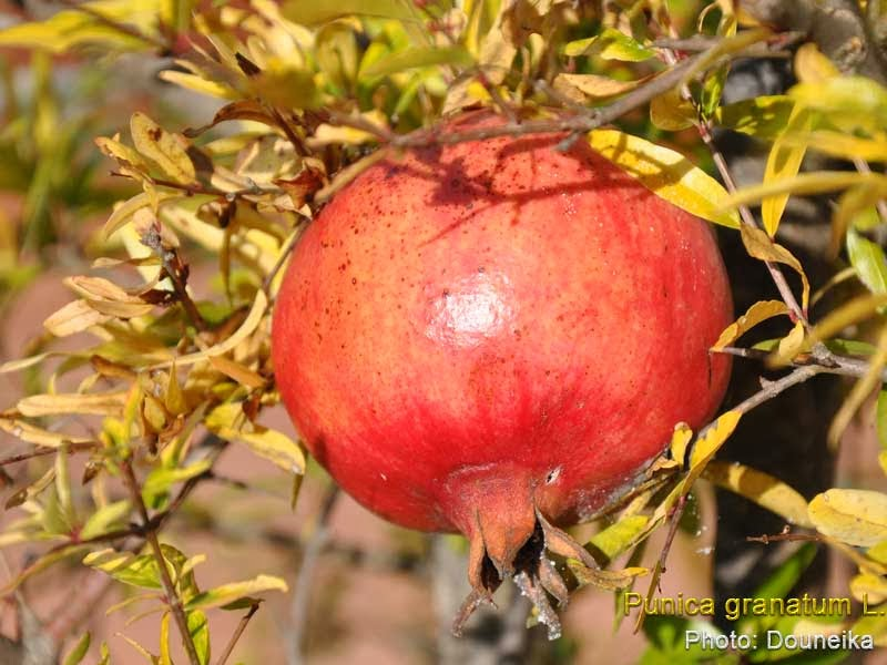 medicinal plants punica granatum pomegranate dadima anar danimma buah delima rom zeira. Black Bedroom Furniture Sets. Home Design Ideas