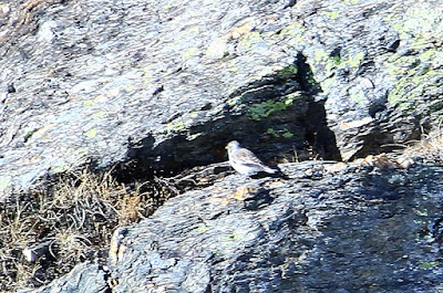 Gorrión alpino (Montifringilla nivalis)