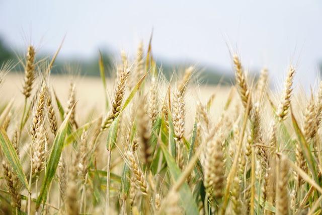 زيت جنين القمح : فوائد واضراره