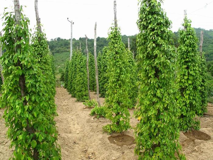 Culture poivre blanc au Cameroun
