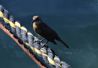 brown bird sitting on a ship's rope