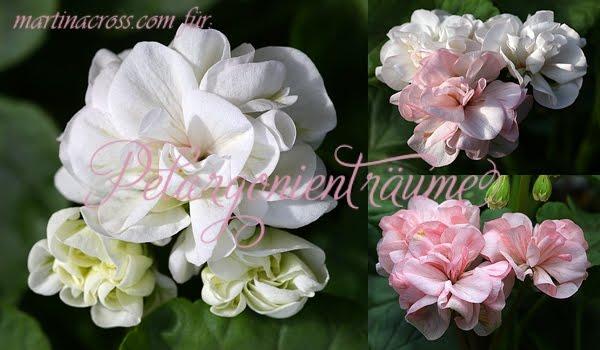 Rosengeranie-creme-weiss-Rosenblüten