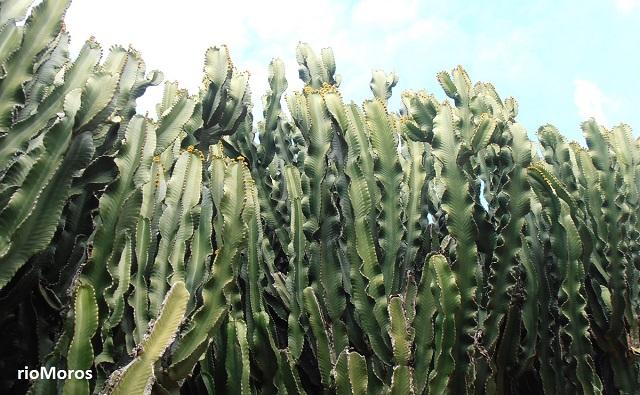 ÁRBOL CANDELABRO Euphorbia ingens