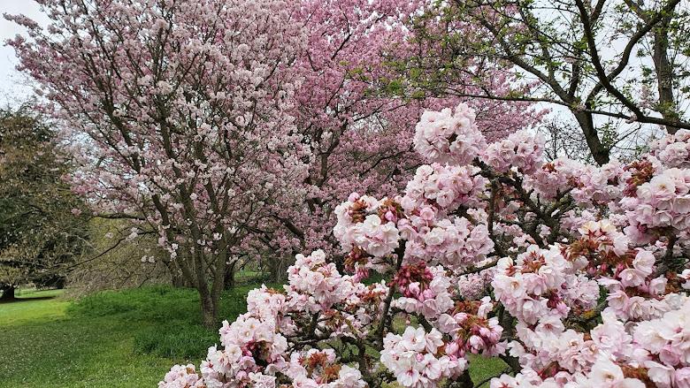 陰天的 Kew Gardens 櫻花