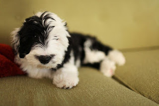 What is Mini Sheepadoodle?