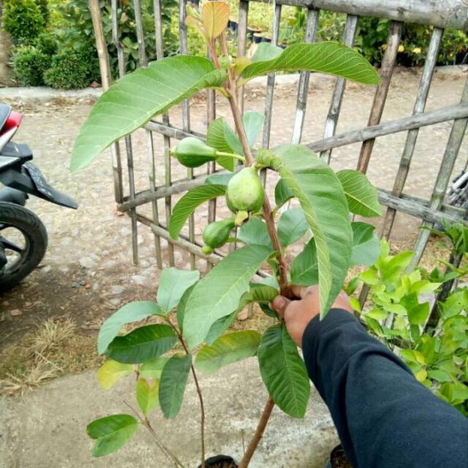 Bibit Tanaman Jambu Alpukat berbunga Sulawesi Selatan