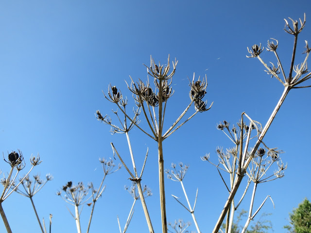 White skeletons of umbeliferous plants with seeds.