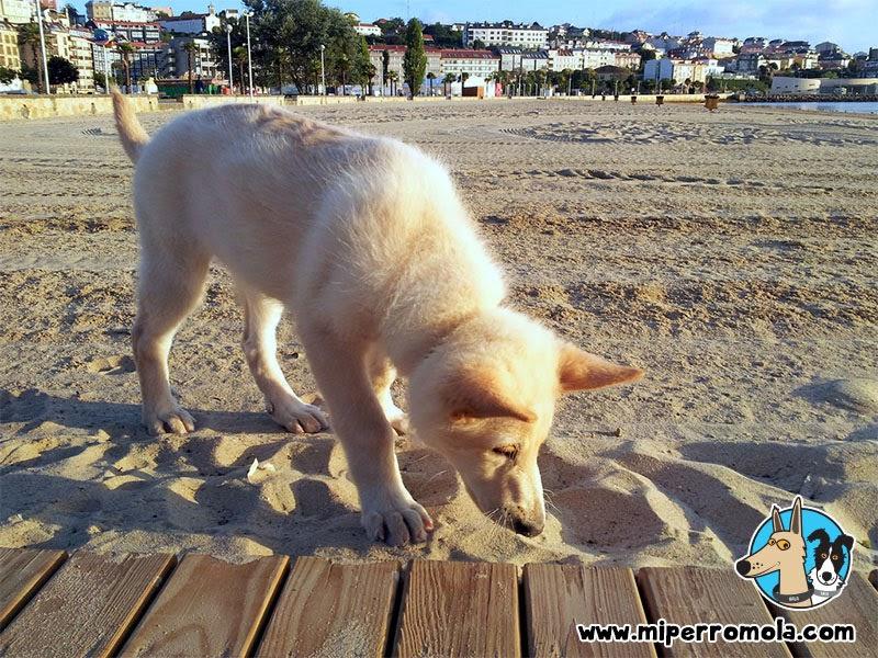 Cachorro de Can de Palleiro olfateando la arena de la playa