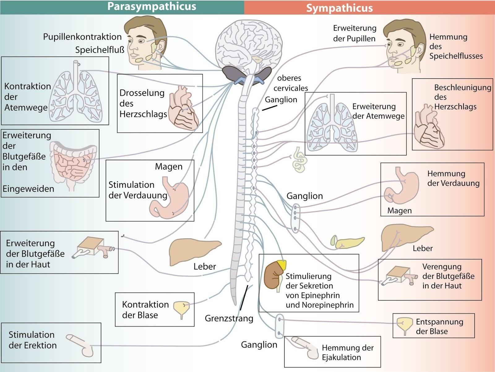 Gemütlich Zentrales Peripheres Nervensystem Ideen - Physiologie Von ...