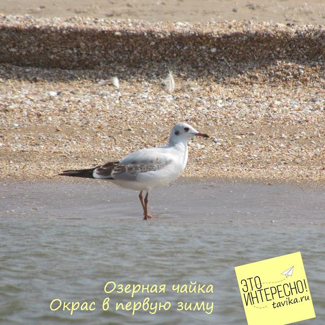 Окрас озерной чайки зимой