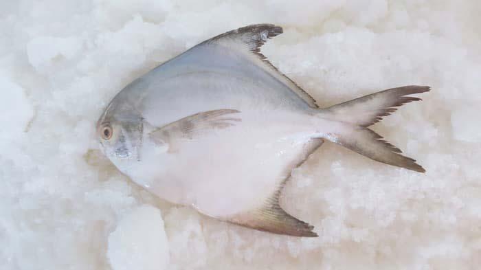 Peluang Usaha Budidaya Ikan Bawal Informasi Pancing Kita