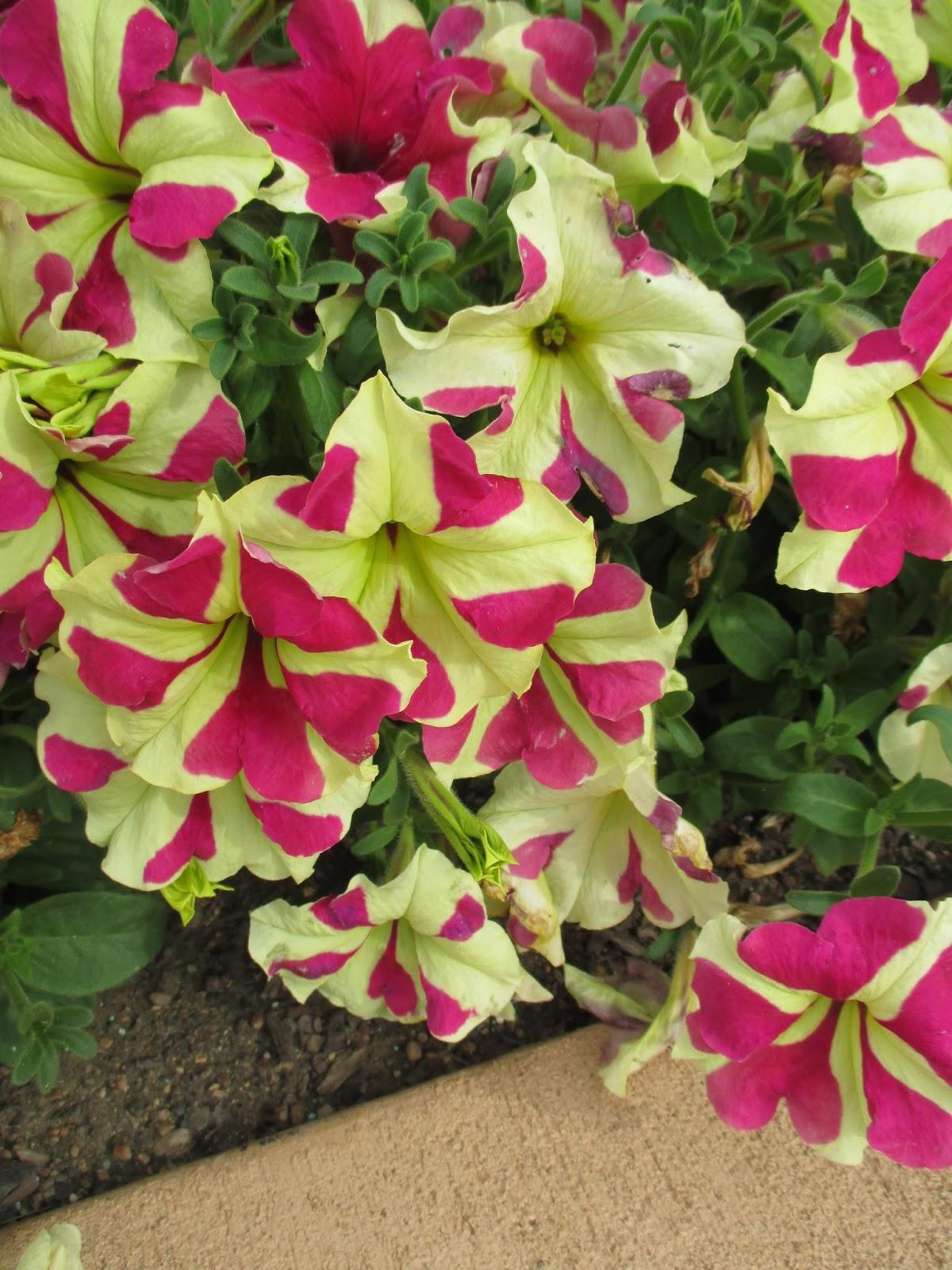 Striped Petunias - Rotary Botanical Gardens
