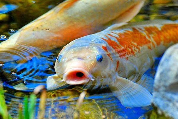 cara mengobati Aeromonas Hydrophila ikan koi