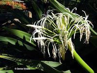 Spider lily, Foster Botanical Garden - Honolulu, HI