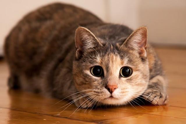 Banyak Yang Tak Tahu, Inilah Pahala Memelihara Kucing, Hewan Lucu Kesayangan Rasulullah
