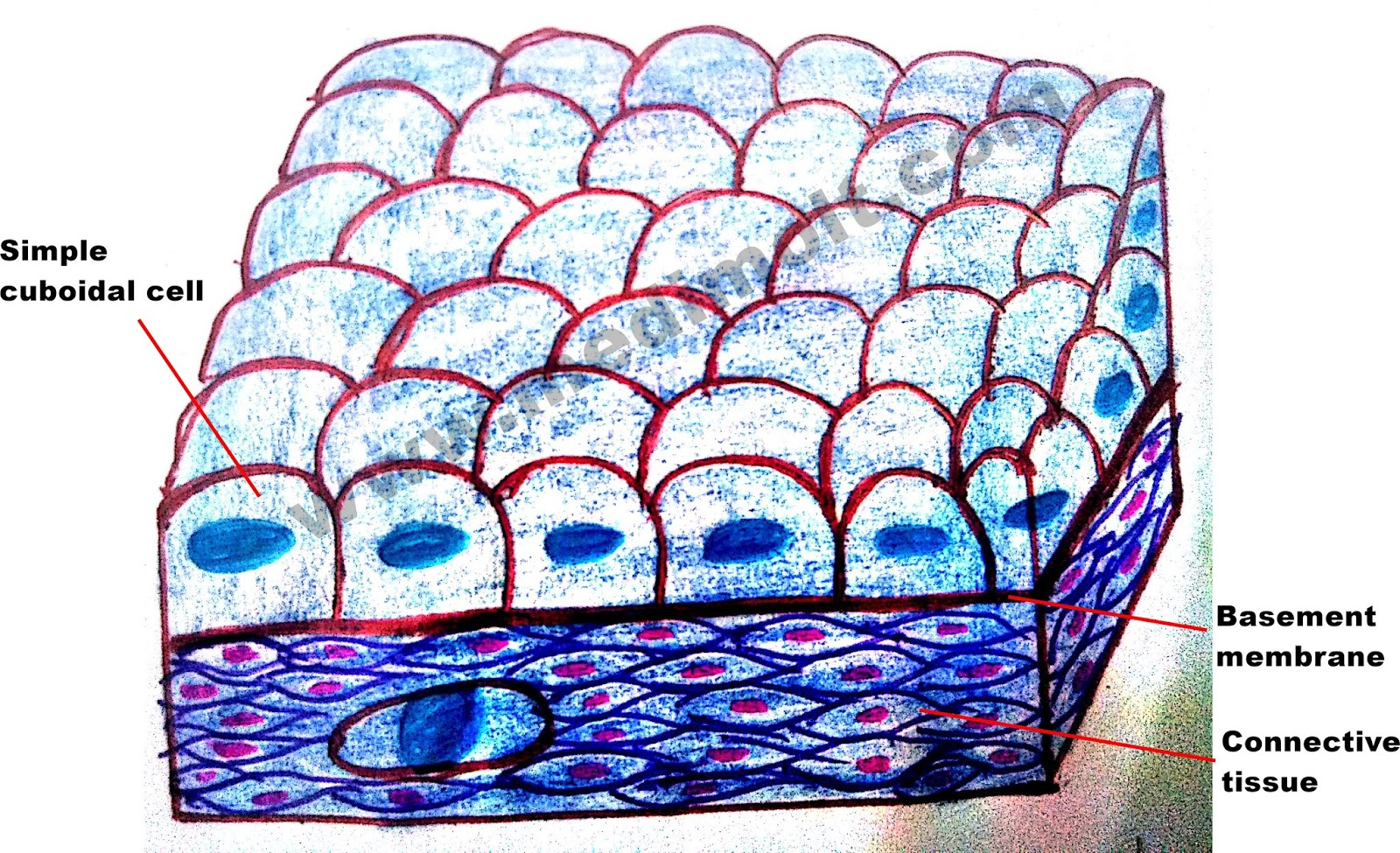 What Is Epithelial Tissue Different Types Of Structure