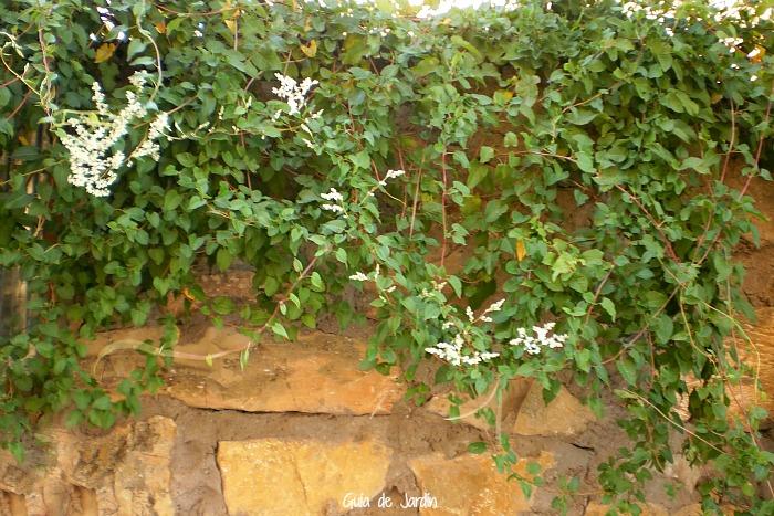 10 plantas trepadoras para climas fr os guia de jardin - Plantas trepadoras para pergolas ...