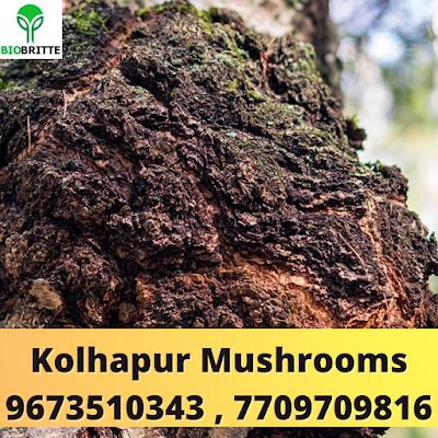 Buy Chaga Mushroom Online