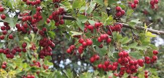 فوائد نبات الزعرور للصحه وقيمتها الغذائيه