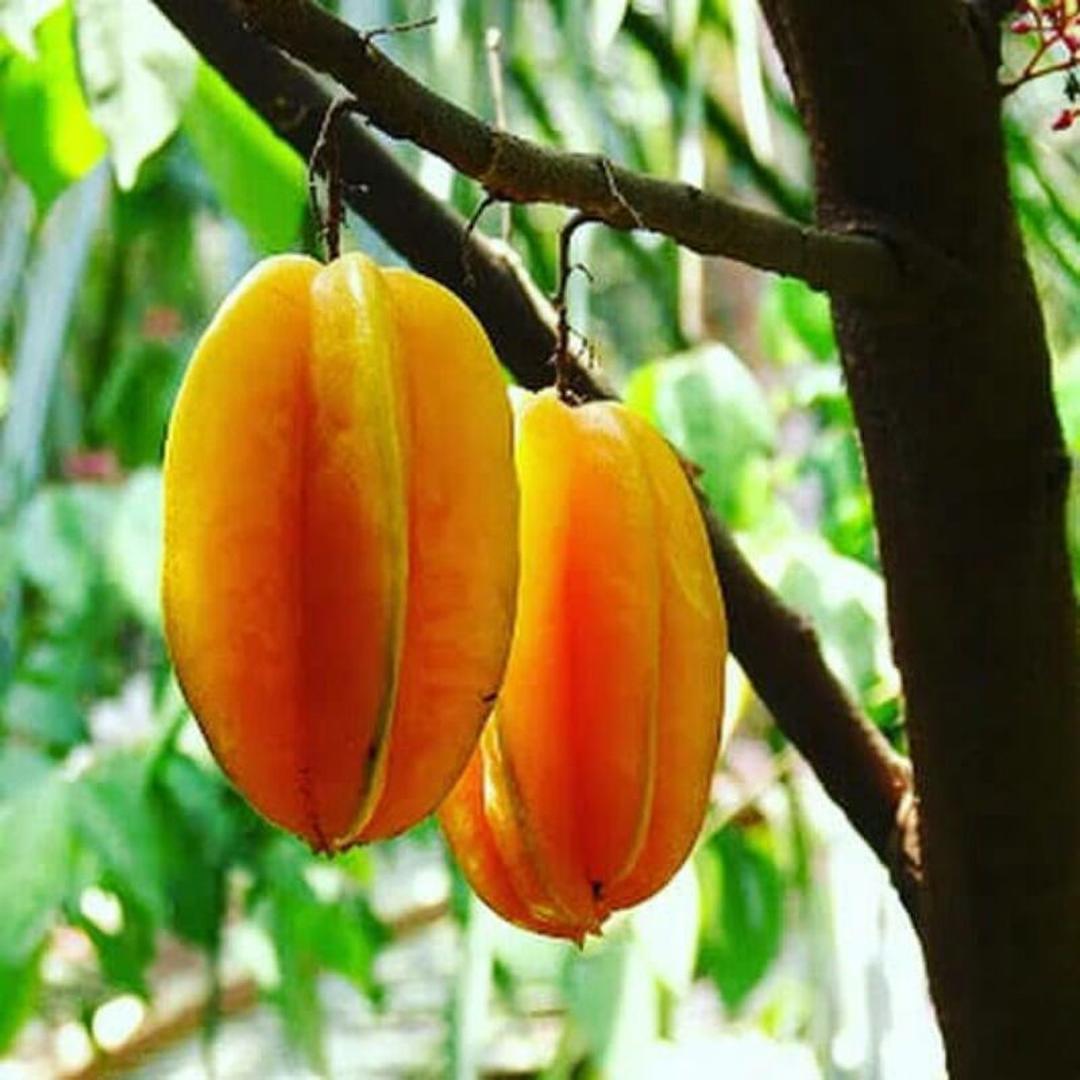 Viral! BIBIT TANAMAN BUAH BELIMBING MADU Kota Bandung #bibit buah buahan