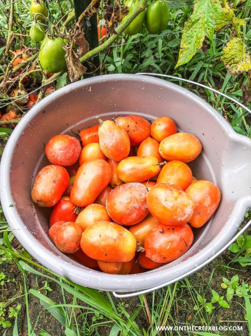 Roma VF tomato harvest | On The Creek Blog // www.onthecreekblog.com