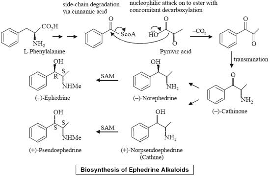 Biosynthesis of Ephedrine Alkaloids