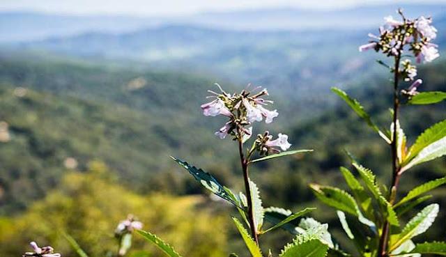 Sebuah tumbuhan yang tumbuh di belantara California dipercaya sanggup mengobati penyakit Alzh RAMUAN YERBA SANTA DAPAT MENGOBATI PENYAKIT ALZHEIMER DAN PEMBENGKAKAN OTAK