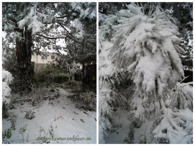 Schwarzkiefer in Schnee