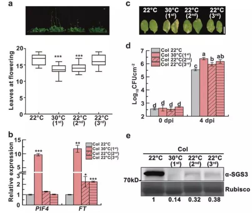 Fig. 1 Heat-inducedtransgenerational degradation of SGS3 accelerates flowering but attenuatesimmunity.