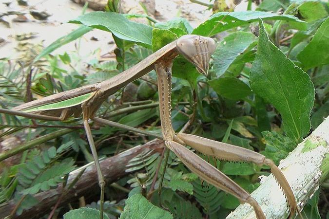 Dlium Chinese mantis (Tenodera sinensis)