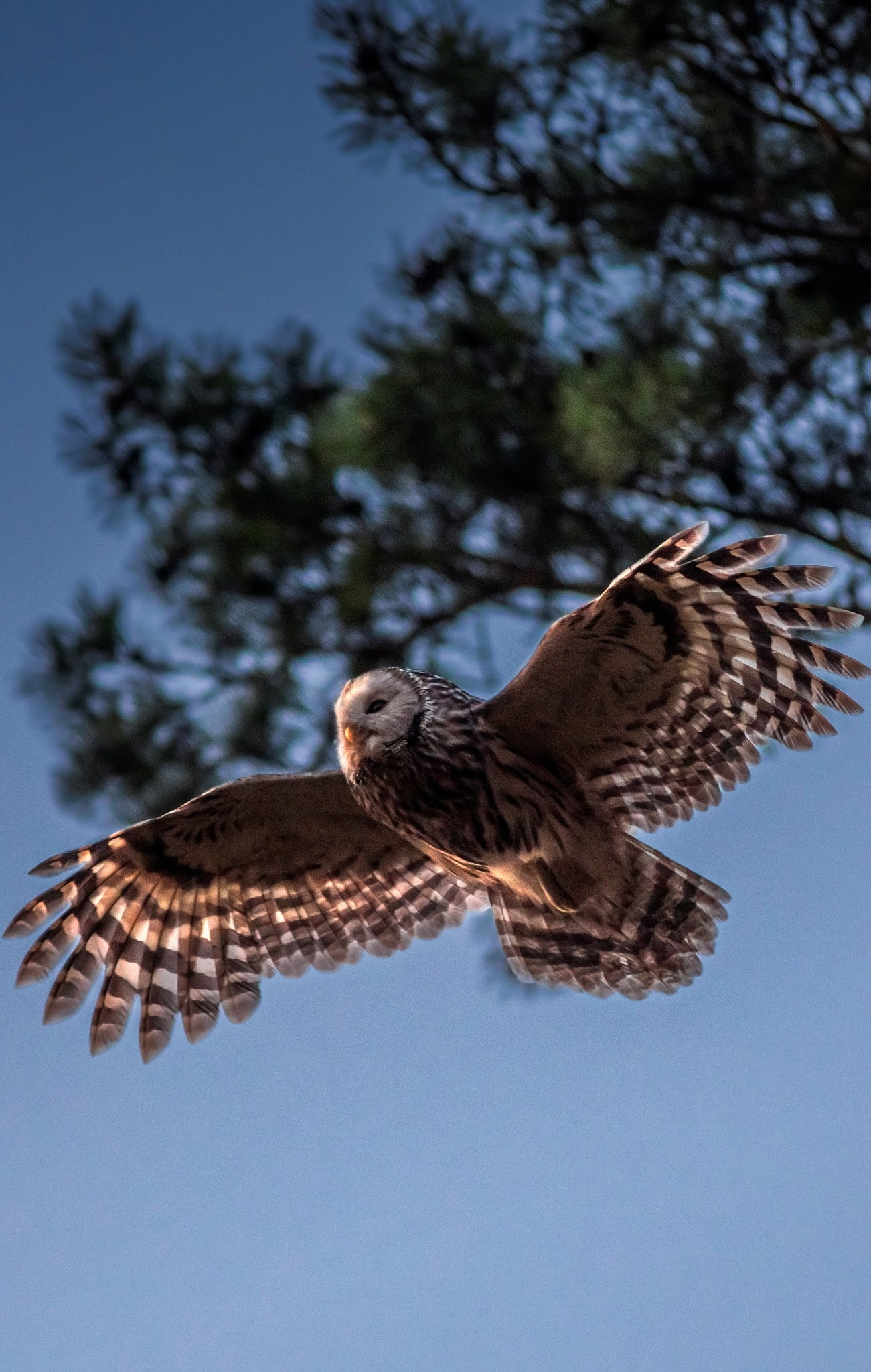 Ural owl in flight.
