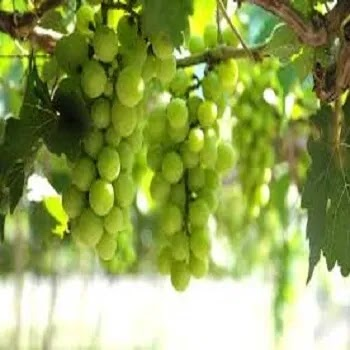 द्राक्ष, Grapes fruits name in Marathi