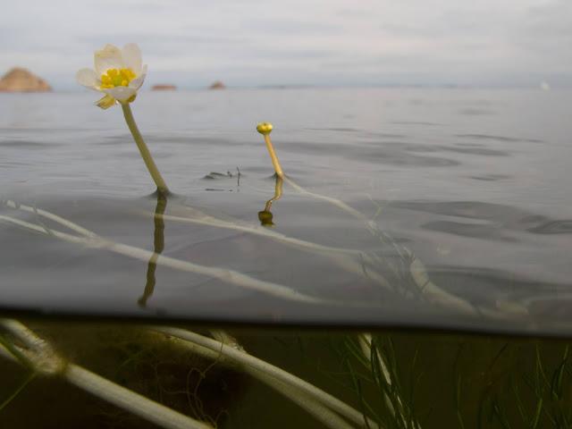 Kukkiva merisätkin kuvattuna pinnan alta ja päältä