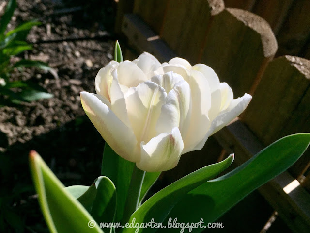 Tulpe weiss