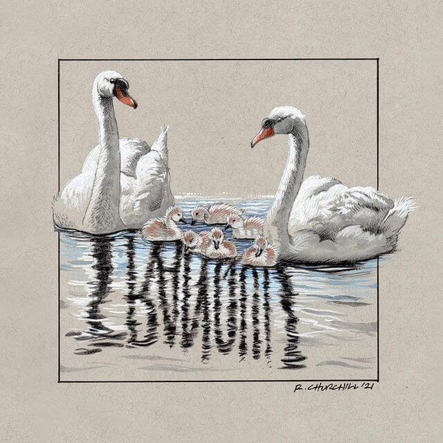 05-Tranquil-swans-and-cygnets-Ron-Churchill-www-designstack-co