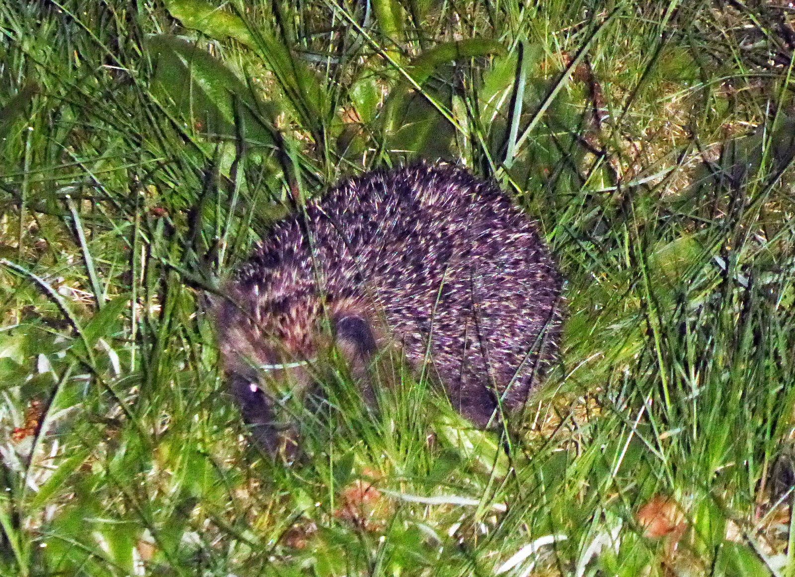 Wild and Wonderful: Hedgehogs in the Garden