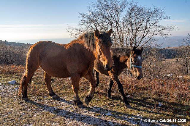 Konji na cesti/ podno Učke / prelaz Bodaj