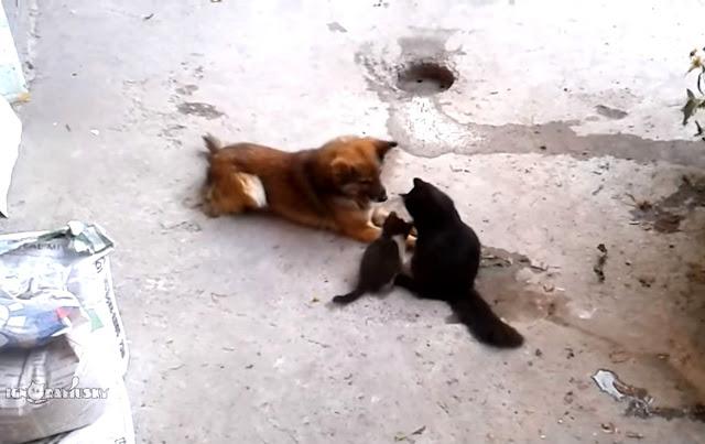 Кошка привела котят знакомиться с другом-псом. Это самое трогательное знакомство в Сети!