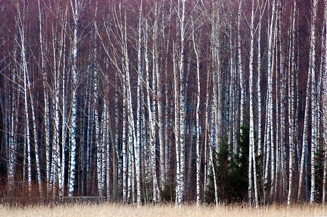 birch, koivu, koivumetsä, metsä, forest, suomi, finland, white tree, nature